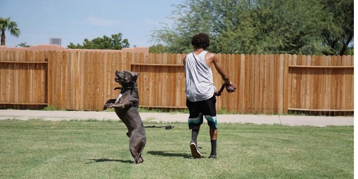 brown pitbull playing with his owner outside in a fenced-in yard