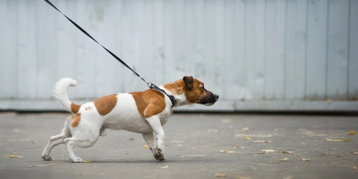 Small white and brown dog pulling on leash at attention during a walk with a white wood fence in the background