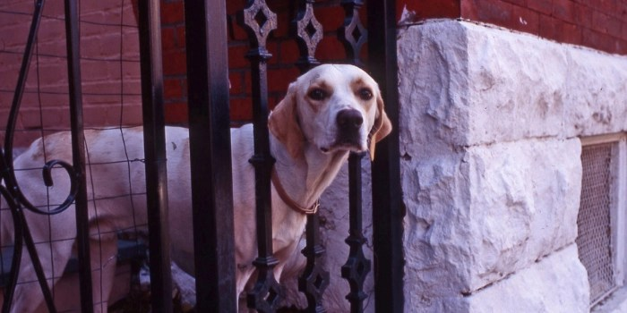Dog with head through wrought iron gate