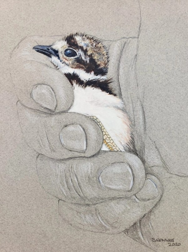 drawing of a killdeer chick in hand