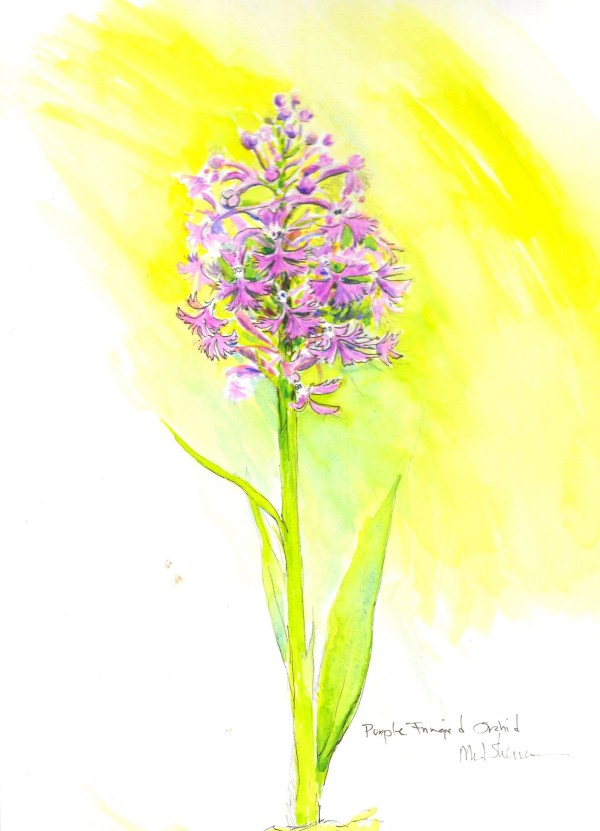 A watercolor drawing of a Purple-fringed Orchid