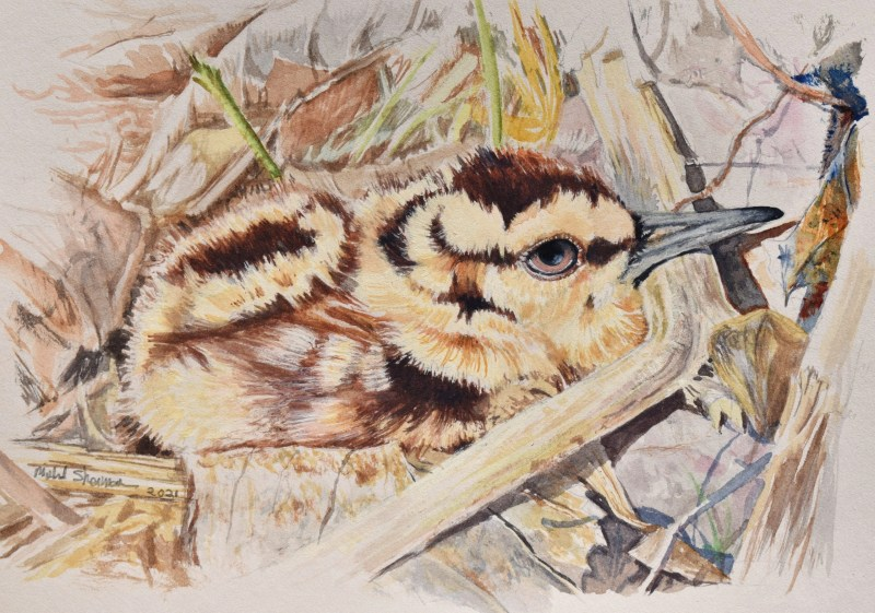 A small watercolor drawing of an American Woodcock Chick