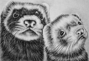 """Two Ferrets"" 5""x7"", Graphite Pencil on Watercolor Paper, SOLD"