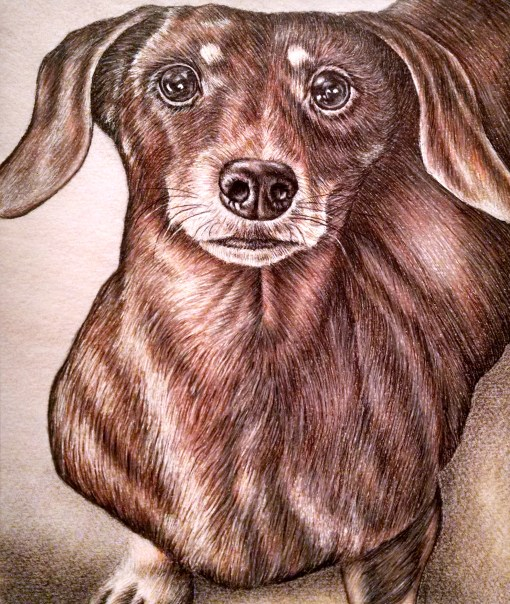"""""""Drawing of Dachshund Looking Up"""", 8""""x10"""", Colored Pencil on Paper, SOLD"""