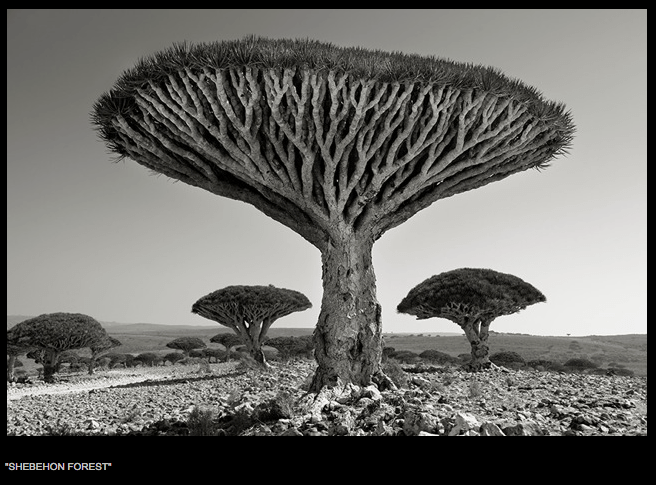 Beth Moon, Yemen, tree, Dragon's Blood, Socotra
