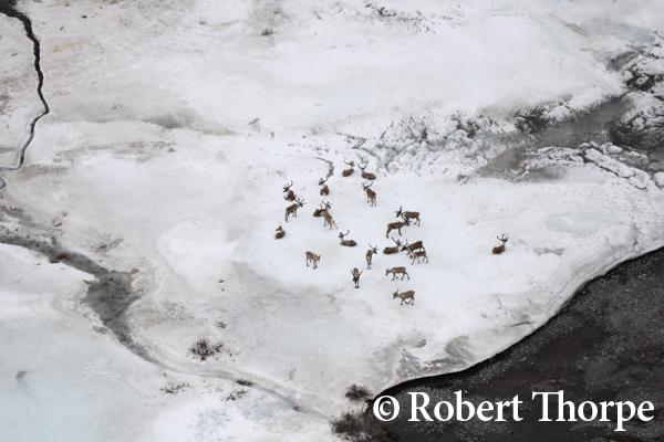 Caribou heard