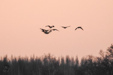 geese_1437p