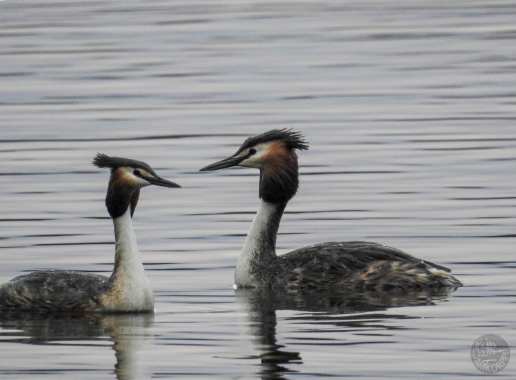 great_crested_grebe_2203p