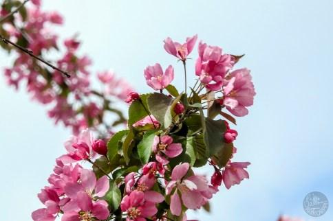 jubilant_blossom3195p