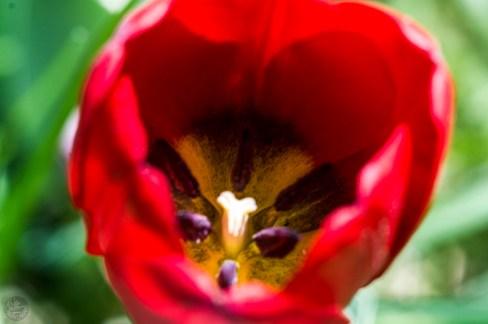 frame_tulip_0002p