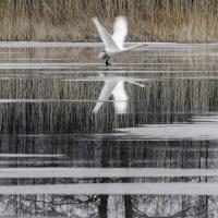 Whooper Swans Fly / Laulujoutsenet lentävät