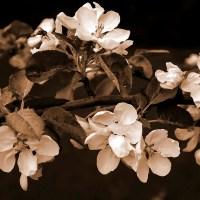Apple Blossoms Monochrome / MM 4-5
