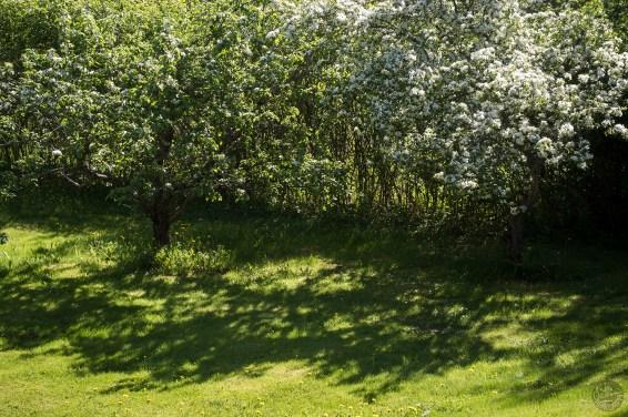 omenapuut_0113p
