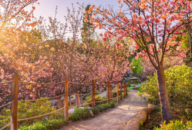 Cherry Blossom Bloom at Balboa Park by Scott Murphy images of pink cherry blossom trees