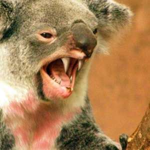 dropbear from wikimedia commons