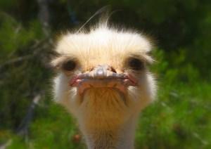 ostrich-992753_1920