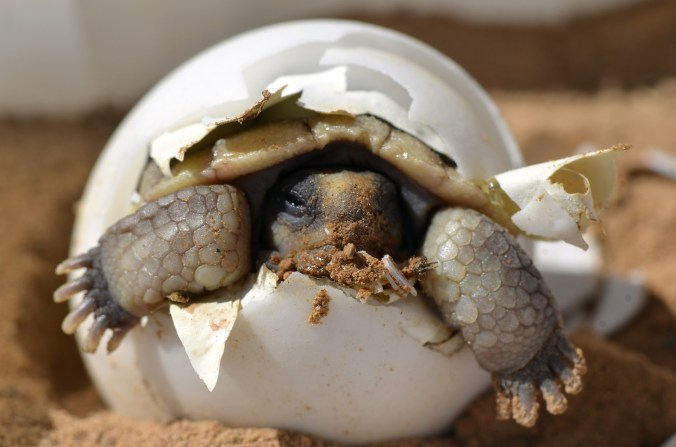 desert-tortoise-987972_1920