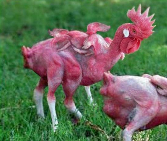 KFC Mutant Chicken