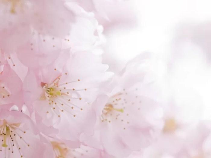 cherry-blossoms-001