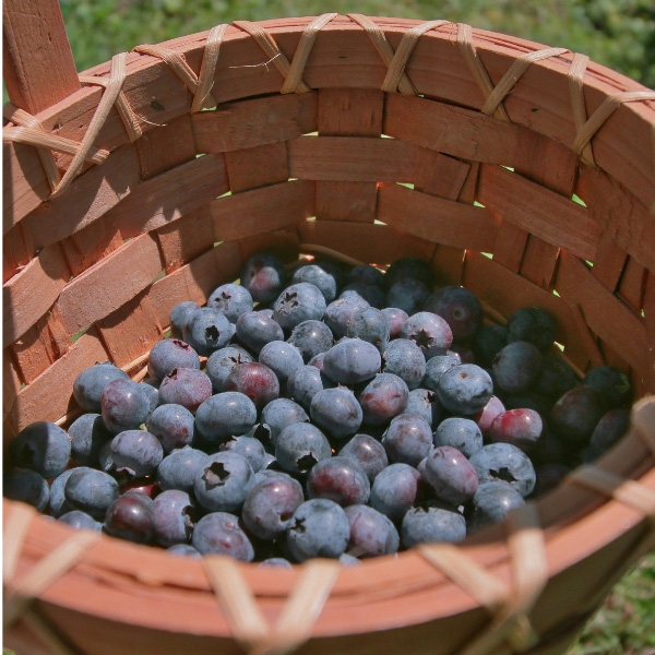 fresh picked-blueberries