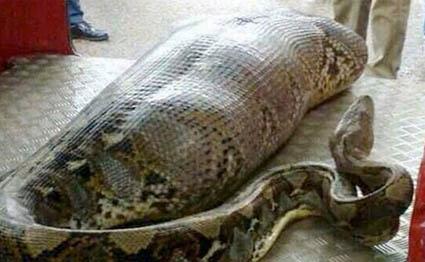 python-india-425