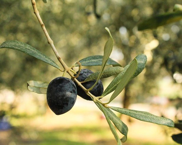 Olive Harvest Bursa Turkey