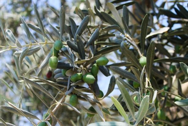 Olive Harvest branch