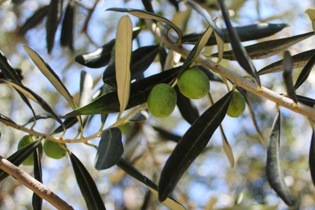 Olive Harvest Bursa