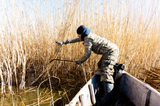 Reed Harvesting From Boat