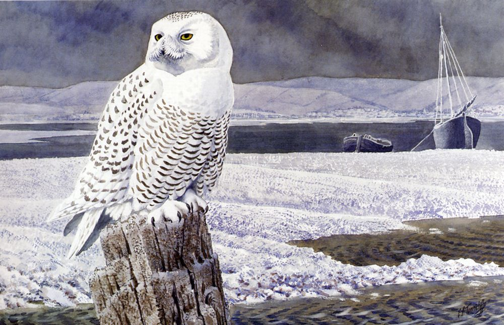 A Snowy Owl Anglesey by Charles Frederick Tunnicliffe