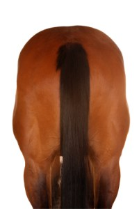 Rear view of a brown horse.