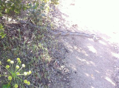 PCT Class of 2015 King Snake?