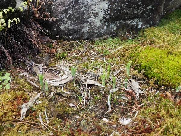 エビネランの地植えの春の芽吹きの写真