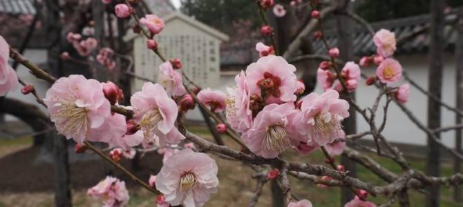 臥竜紅梅の梅の花の写真