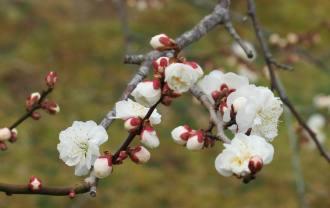 臥竜紅梅の梅