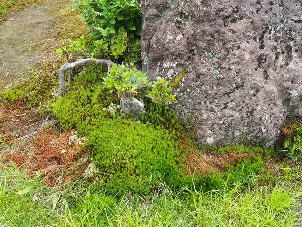 6月のイワヒバの風景写真