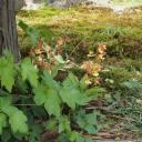 我が家の庭のエビネの写真
