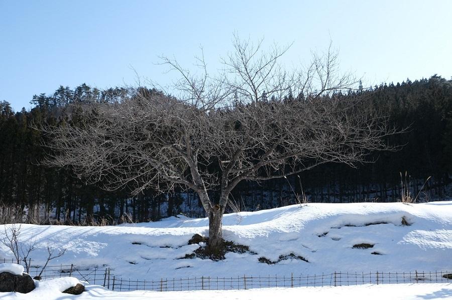 我が家の庭の風景写真桜の木の冬の風景写真