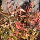 x-t3のレビューと評価我が家の庭の風景写真冬の赤満天星の写真