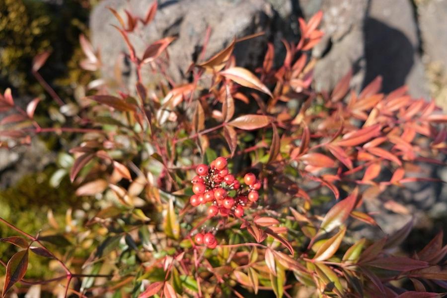 我が家の庭の風景写真冬の赤満天星の写真