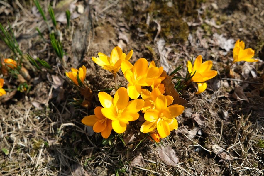 x-t3のレビュー画質の評価庭のポピーの花の3月の写真