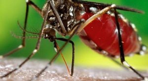 aedes-2