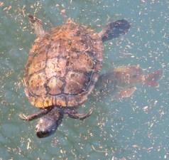 23-turtle