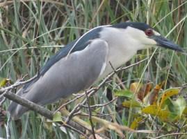 32-adult-nite-heron