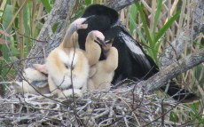 5-more-chicks