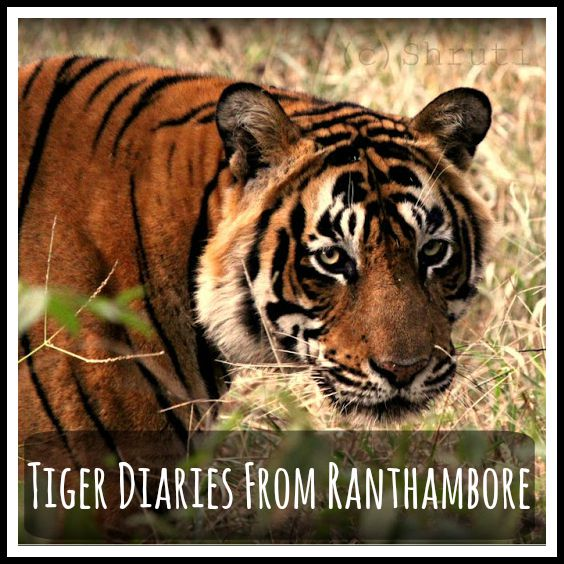 tiger diaries ranthambore