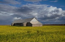 Barn and Canola Field