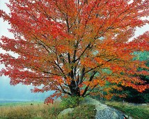 Wild Red Maple and Fog, New Hampshire