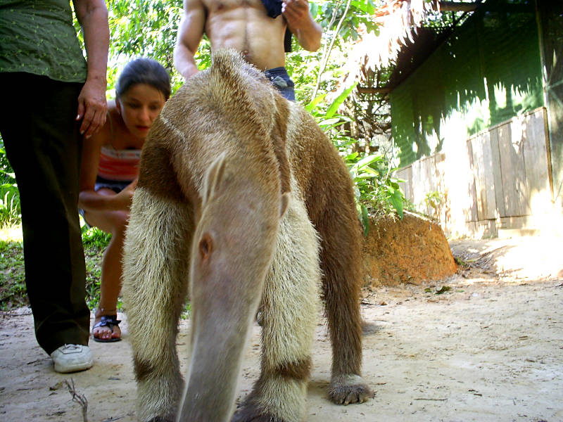 Anteater rescued by Pilpintuwasi Rehab center