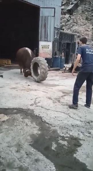 Artvin'de boğalar güreşlere ilginç yöntemlerle hazırlanıyor